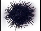 sea urchin injury